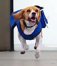 Beagle Cover